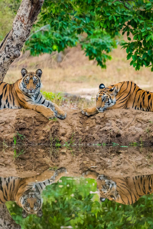two tigers at national park in India