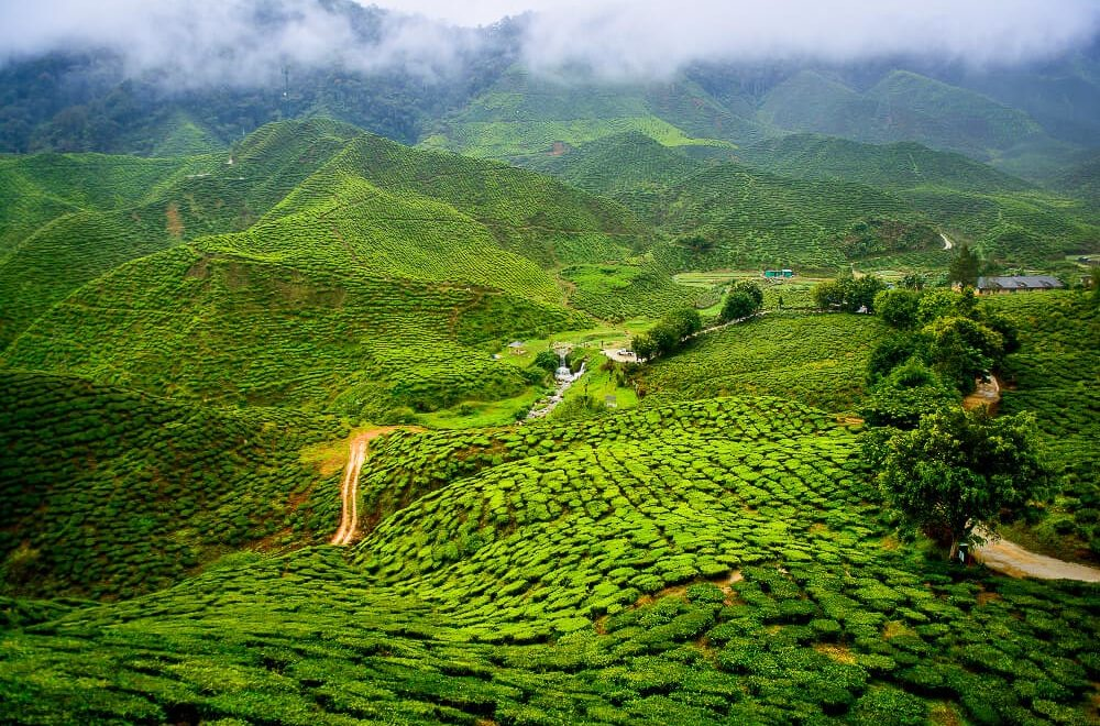Tea garden, Darjeeling, India