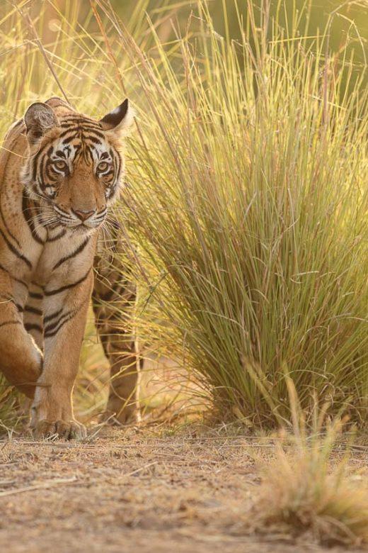 Tiger, India
